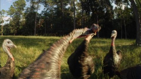 Nature -- S30 Ep4: Turkey Fight