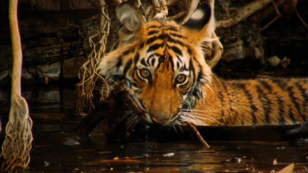 A Mischievous Tiger image