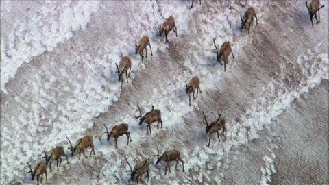 Nature -- S29 Ep15: Caribou Shaping the Landscape