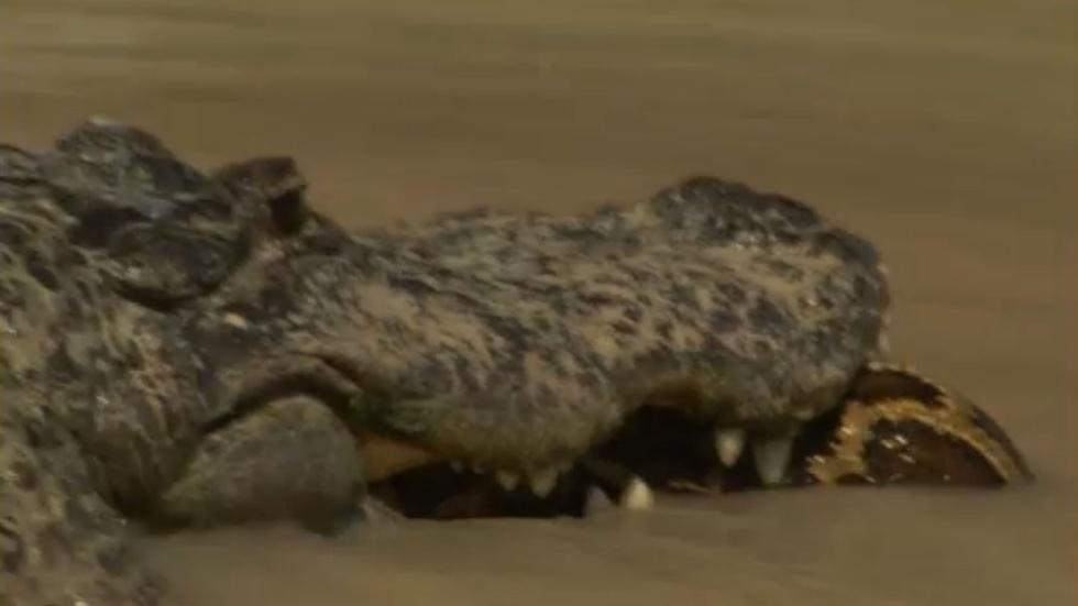 Alligator Versus Python image