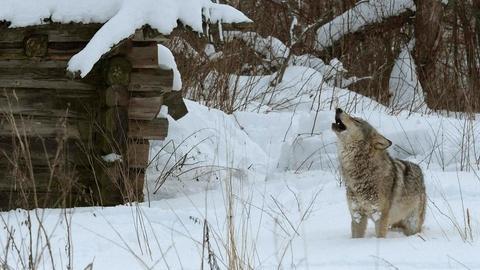 Nature -- Radioactive Wolves
