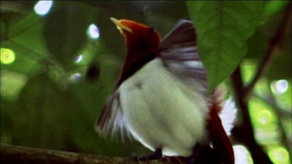 S29 Ep7: King Bird of Paradise image