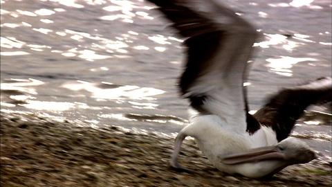 Nature -- S29 Ep10: Pelican Tantrums
