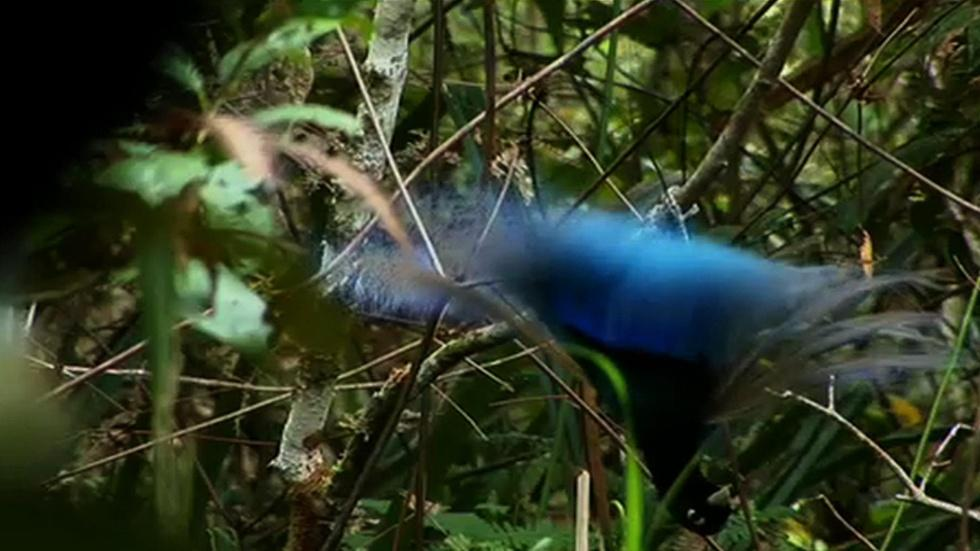 Blue Bird of Paradise image