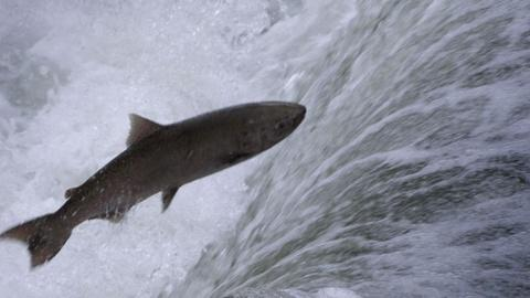 Nature -- Salmon: Running the Gauntlet