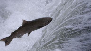 Salmon: Running the Gauntlet - Trailer