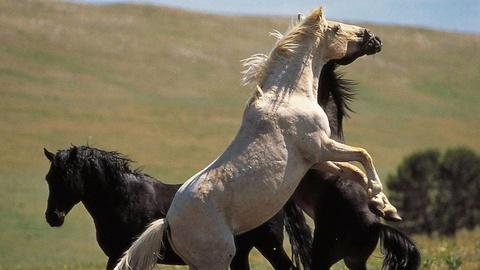 Nature -- S19 Ep1: Cloud: Wild Stallion of the Rockies