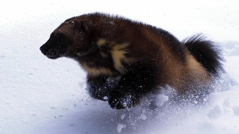 S29 Ep4: Short   The Phantom   Wolverine: Chasing the Phanto image