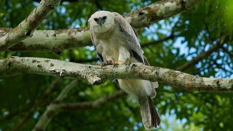 Jungle Eagle