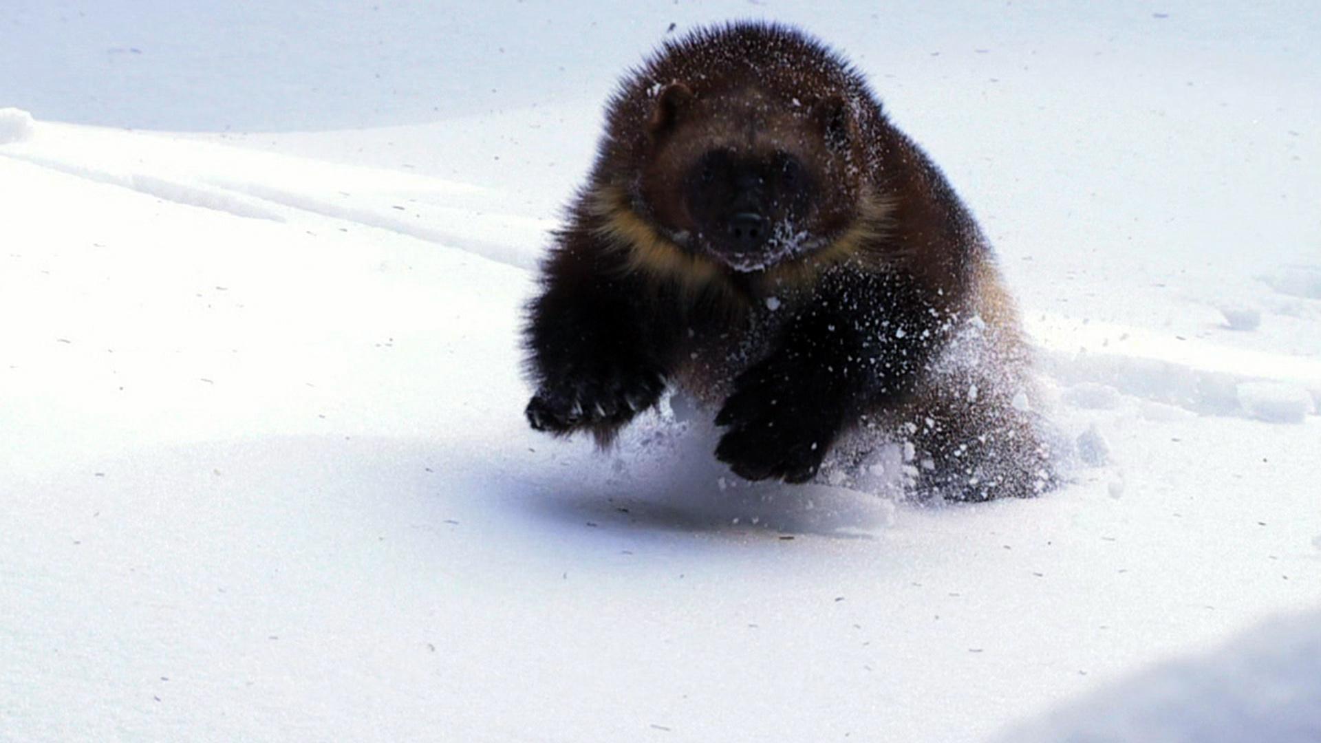 wolverine  chasing the phantom