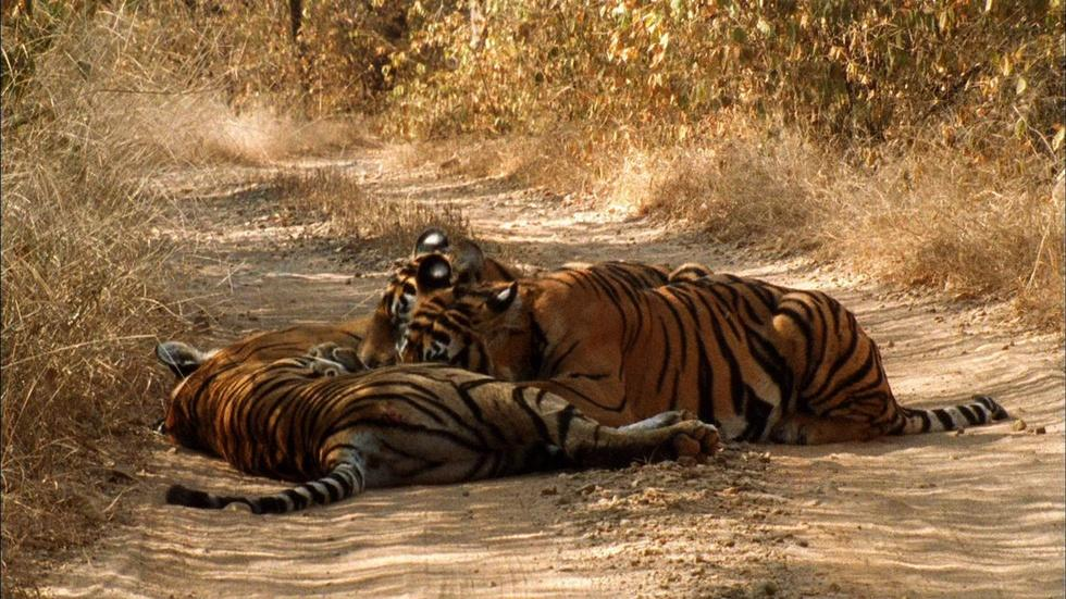 Tiger Family Bonding image