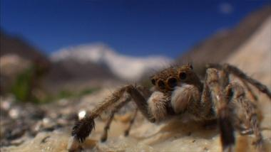 The Himalayan Jumping Spider