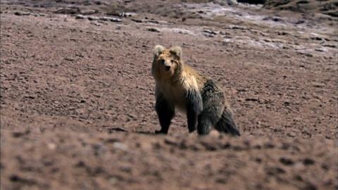 Nature -- S29 Ep8: The Himalayan Bear and the Tibetan Fox