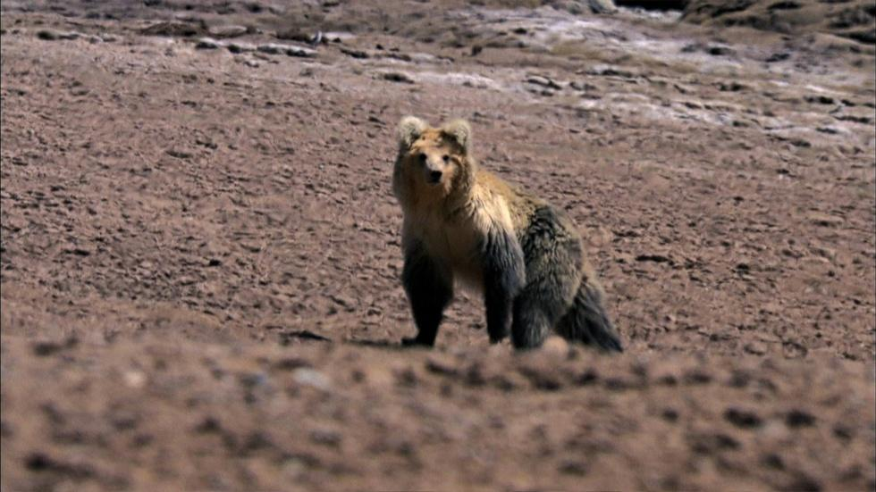 The Himalayan Bear and the Tibetan Fox image