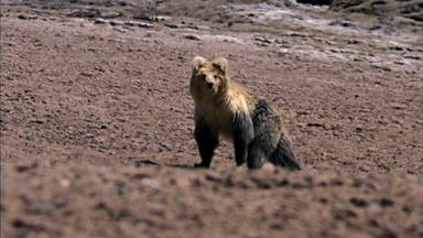 The Himalayan Bear and the Tibetan Fox