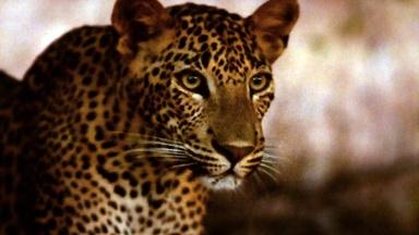 Revealing the Leopard - Preview