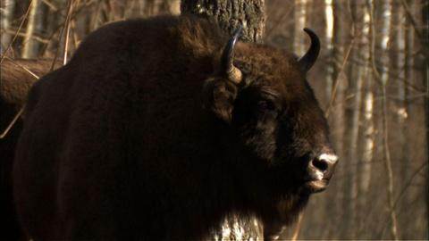 Nature -- S30 Ep1: Bison Take on the Wolves