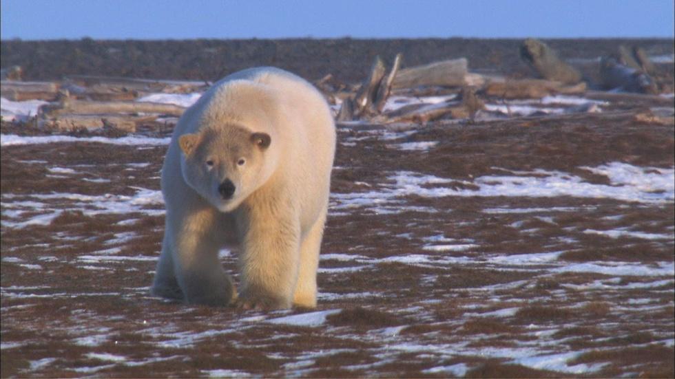 A Polar Bear Approaches image