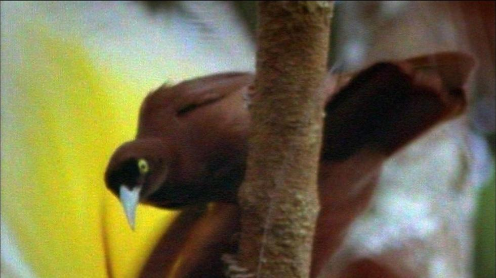 Greater Bird of Paradise image