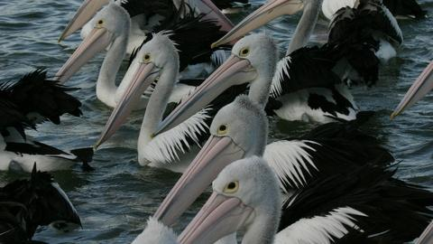 Nature -- Outback Pelicans - Preview