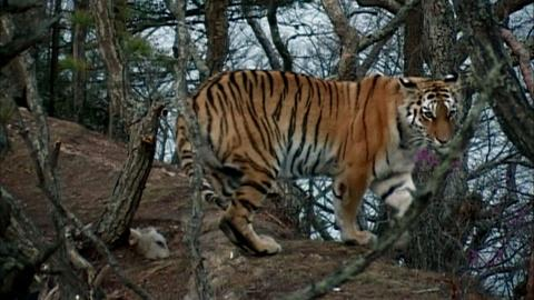 Nature -- S31 Ep1: Siberian Tiger Quest - Preview