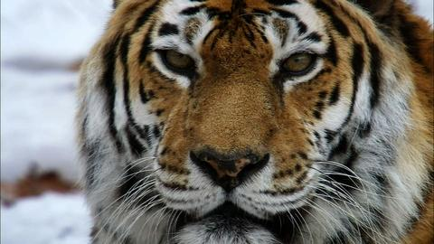 Nature -- S31 Ep1: Siberian Tiger Quest