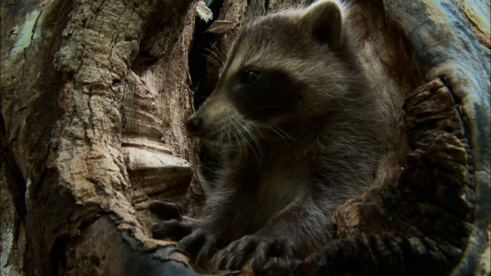 Learning to be a Raccoon image