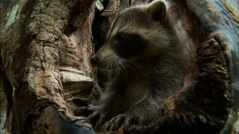 Learning to be a Raccoon