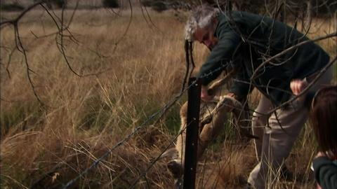 Nature -- Challenges for Urban Kangaroos