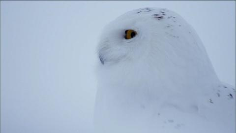 Nature -- S31 Ep2: Owl of the Arctic