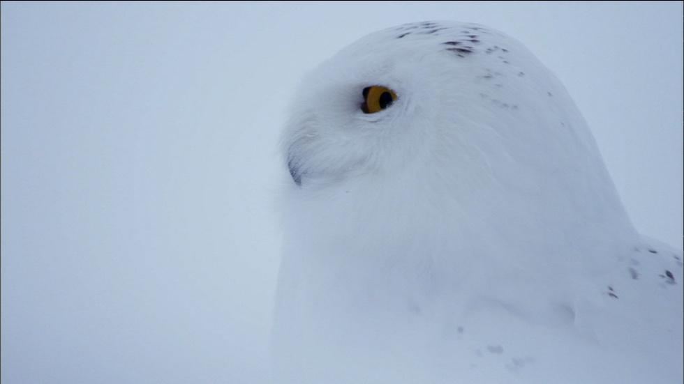 Owl of the Arctic image