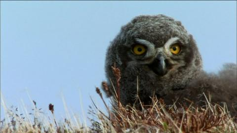Nature -- S31 Ep2: Young Birds of Prey