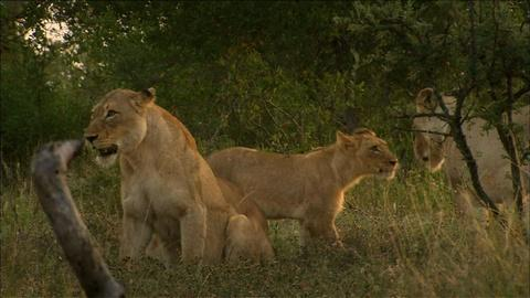 Nature -- S30 Ep12: Lions at Play