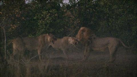 Nature -- S30 Ep12: A Fight Between Lions