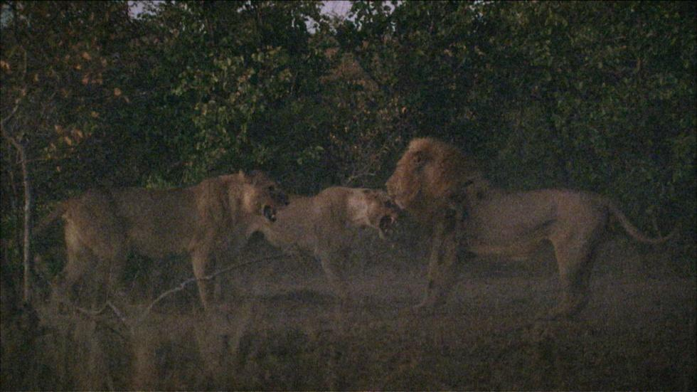 A Fight Between Lions image