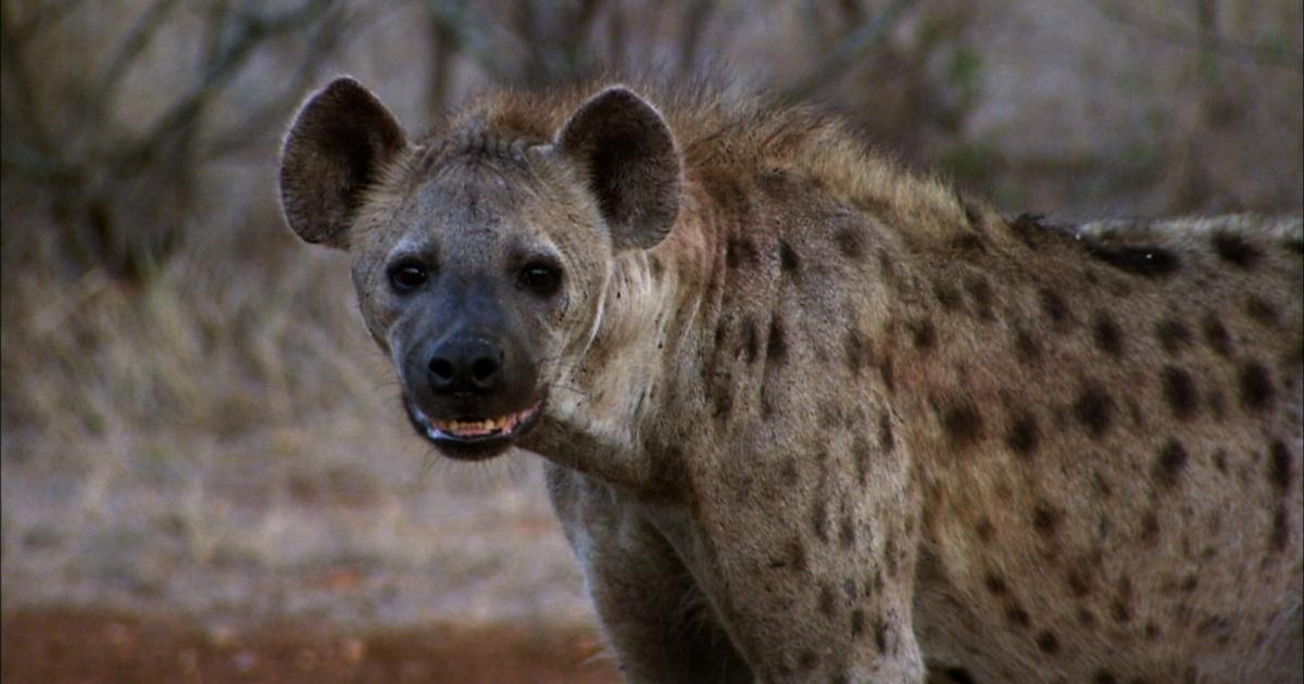 A White Lion Challenges A Hyena Clan