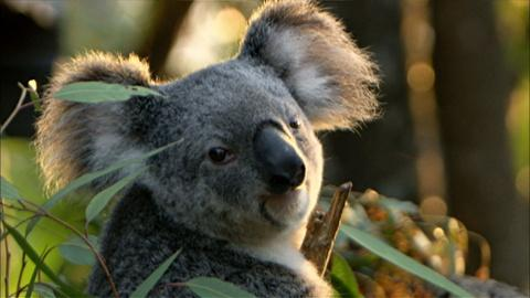 Nature -- Cracking the Koala Code
