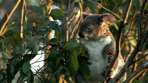 Nature -- S30 Ep13: Education | The Koala Diet