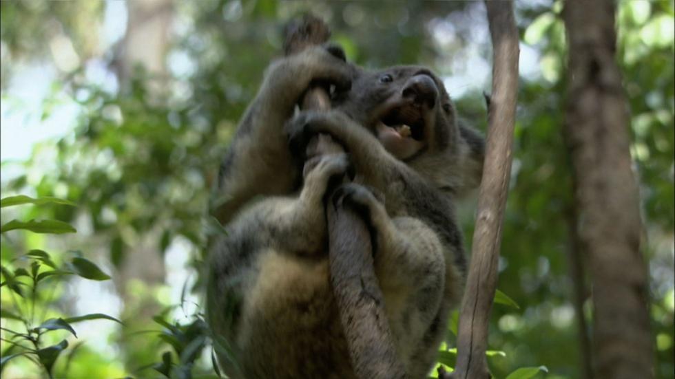 S30 Ep13: Education | How to be an Alpha Male Koala image