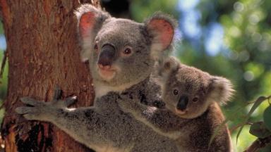 Cracking the Koala Code - Preview