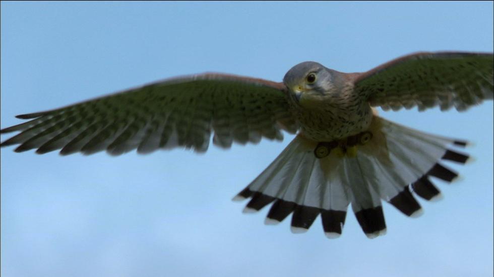 Revealing Kestrel Flight image