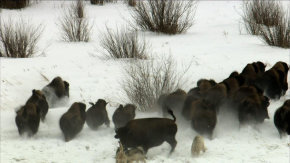 S31 Ep8: Wolves Hunting Buffalo image
