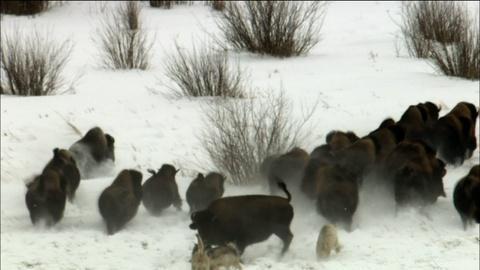 Wolves Hunting Buffalo