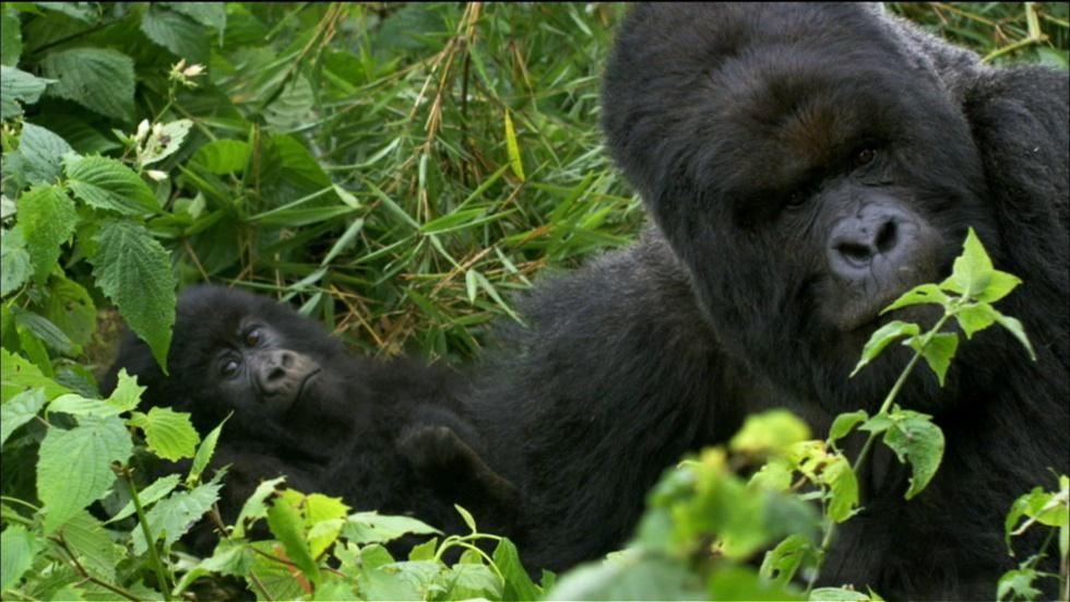Saving the Mountain Gorilla image