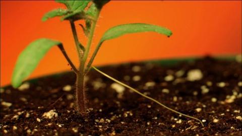Nature -- S31 Ep9: Dodder Vine Sniffs Out Its Prey