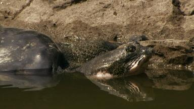 The Last Living Pair of Rafetus Turtles