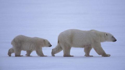 S26 E8: Arctic Bears - Preview