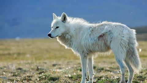 Nature -- White Falcon, White Wolf - Preview