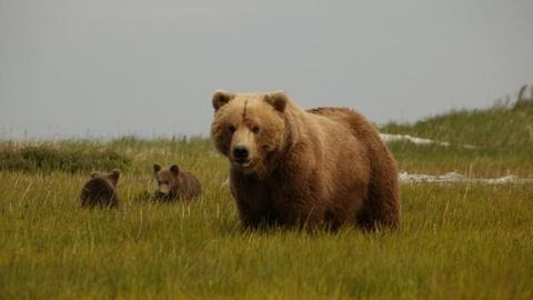 Nature -- S29 Ep13: Bears of the Last Frontier: City of Bears - Previe