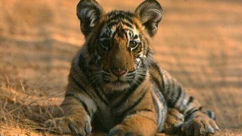 S29 E9: Broken Tail: A Tiger's Last Journey - Preview